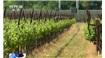 美国加州葡萄酒产区或迎史上最干旱一年