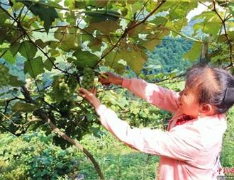 """柳州乡镇""""荒山""""变葡萄园"""